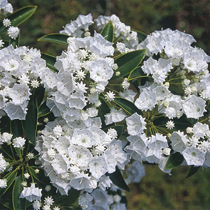 Pristine Mountain Laurel