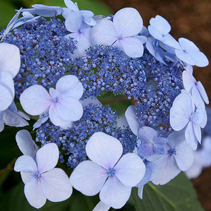 Endless Summer<sup>®</sup> Twist-n-Shout<sup>®</sup> Hydrangea