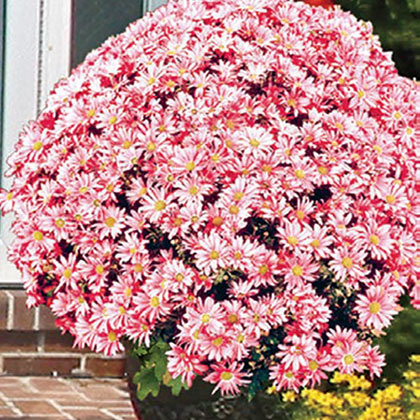 Coral Daisy Monster Mum