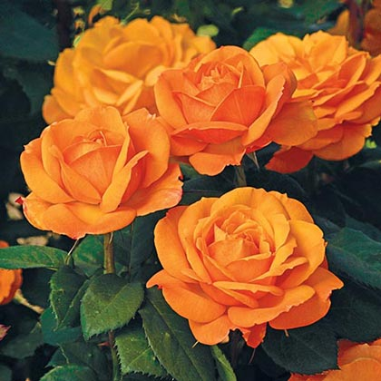 Good as Gold Grandiflora Rose