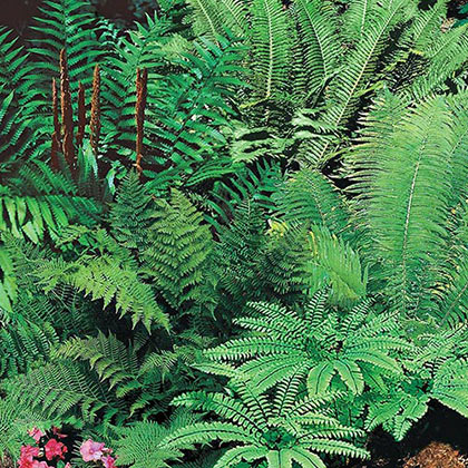 Mixed Hardy Fern