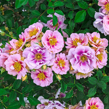 Easy on the Eyes™ Shrub Rose