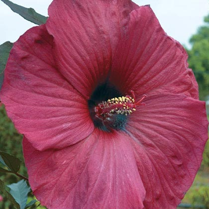 Big Red Hibiscus
