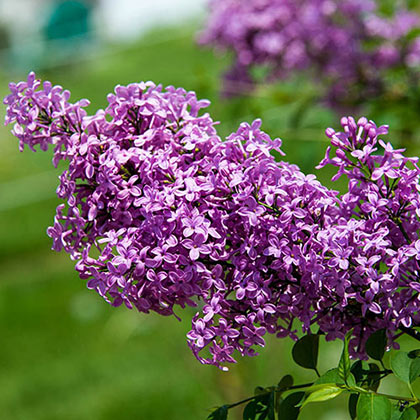 Lilac Sunday Lilac