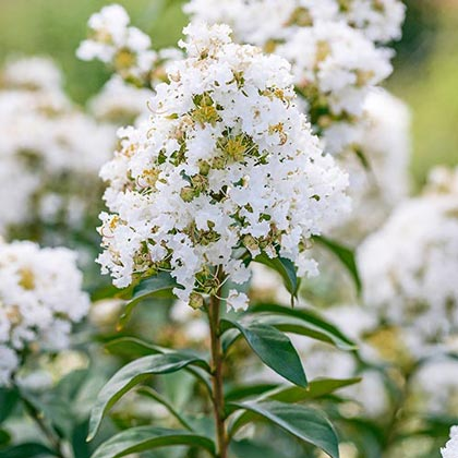 Enduring Summer Reblooming Crape Myrtle - White