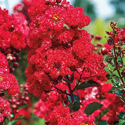 Ruffled Red Magic Reblooming Crape Myrtle