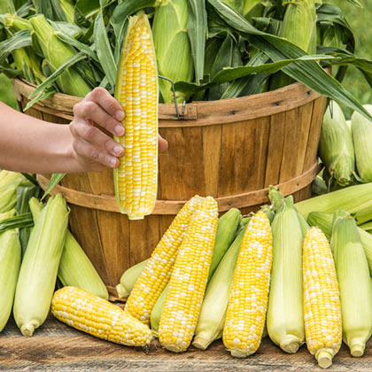 Simply Irresistible™ Hybrid Sweet Corn