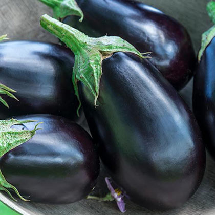 Midnight Queen Hybrid Eggplant