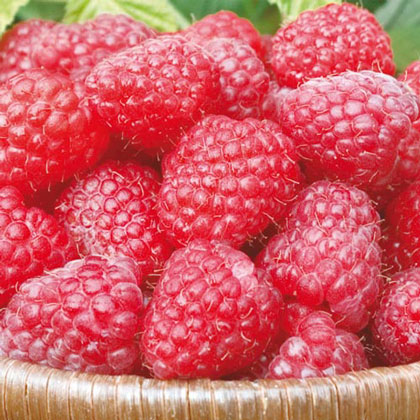 Canby Raspberry