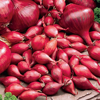 Red Onion Sets