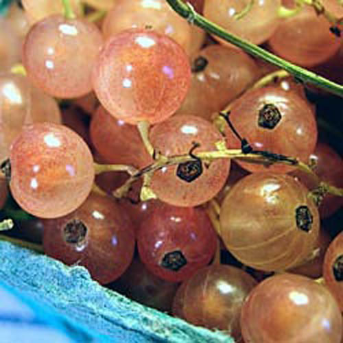 Pink Champagne Currant