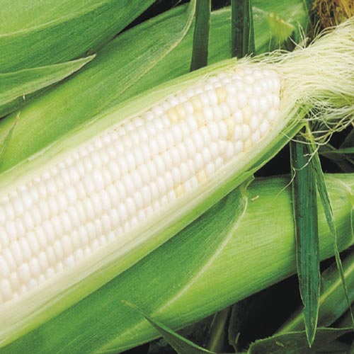 Summer Sweet® Higlow® White Hybrid (SH2) Sweet Corn