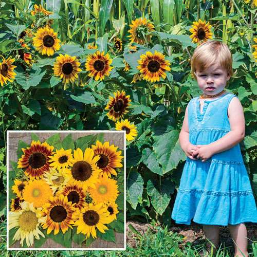Gurney's® Sunny Hedge Blend Sunflower