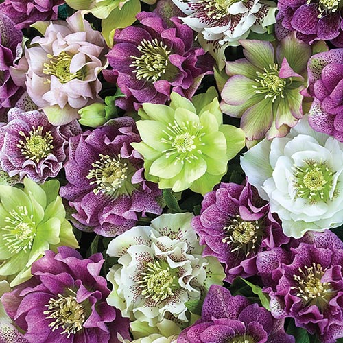 Double Flowered Hellebores