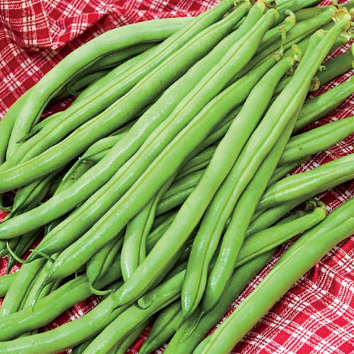 Accelerate Bush Bean