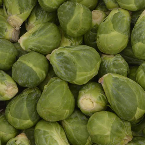 Churchill Hybrid Brussels Sprouts