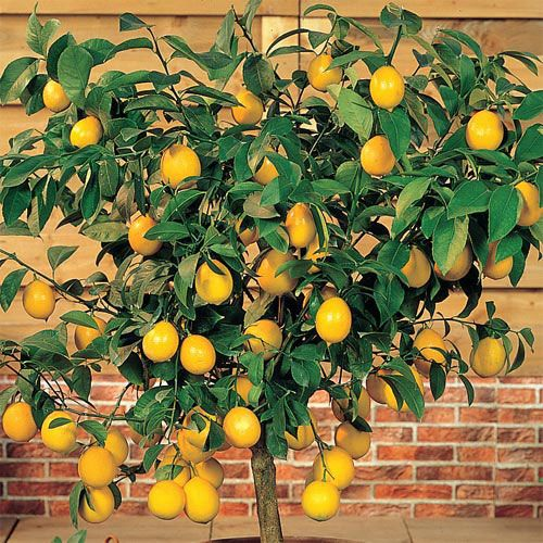 Dwarf Meyer Lemon | Gurney's Seed & Nursery Co