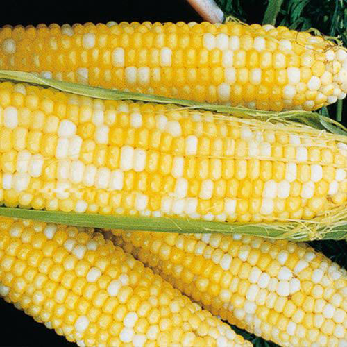 Honey & Cream Hybrid Sweet Corn (su)