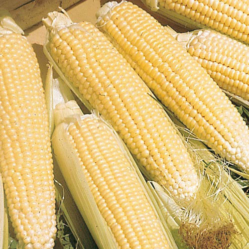 Kandy Korn (se) High-Sugar Hybrid Sweet Corn