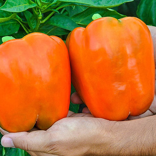 Garfield Hybrid Sweet Pepper