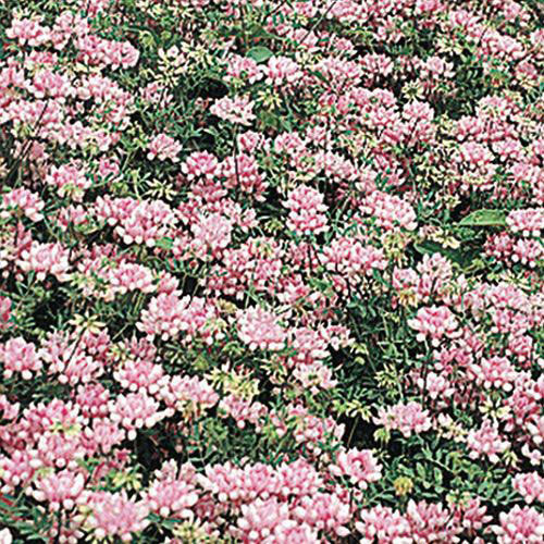 Penngift Crown Vetch