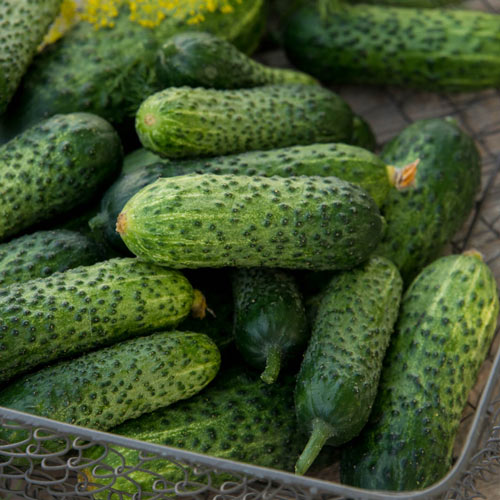 Gherking Pickler Hybrid Cucumber