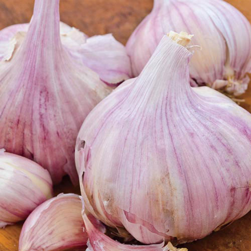 Deerfield Purple Garlic