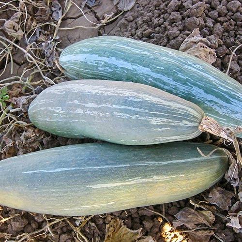 Sibley Winter Squash