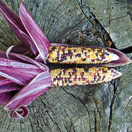 Red Husk Spectrum Ornamental Corn