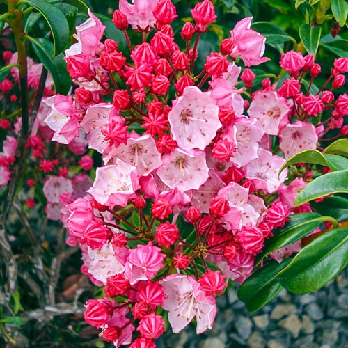 Firecracker Mountain Laurel