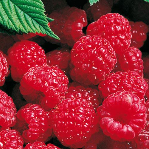 Red Latham Raspberry