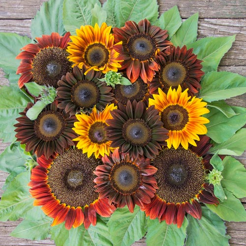 Royal Flush Mix Sunflower