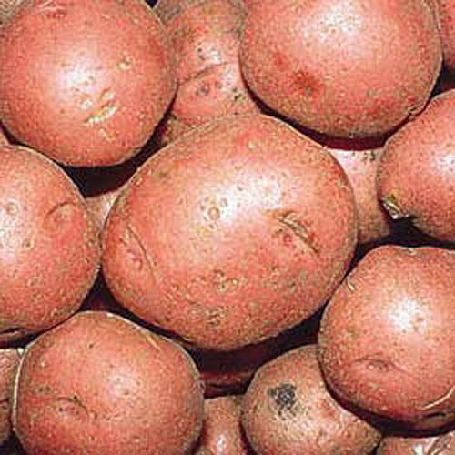 Potato Red Norland