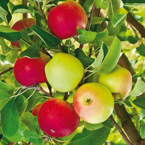 2-in-1 Double Delicious Apple Tree