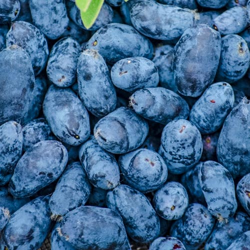 Early Blue™ Honeyberry
