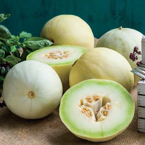 Full Moon Hybrid Honeydew