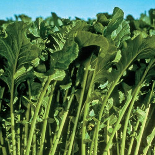Topper Hybrid Turnip Greens