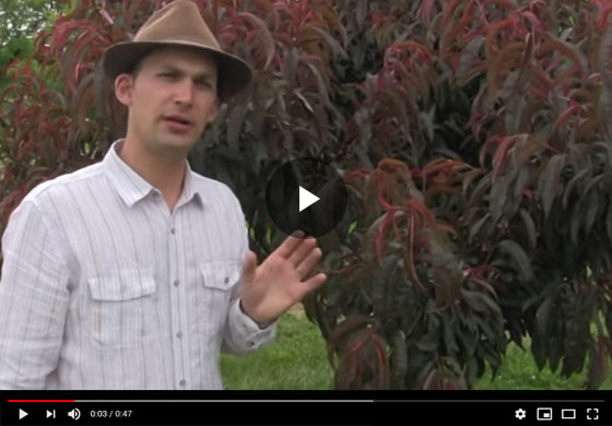 A Quick Guide to summer Pruning Video