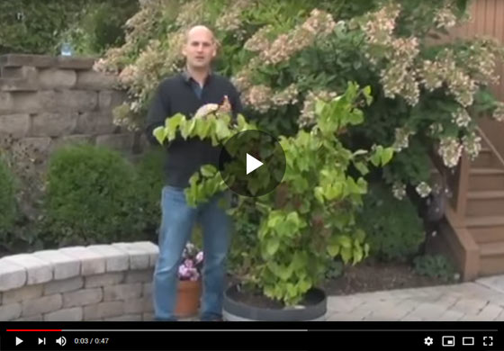 Continuously Fruiting Grape Video