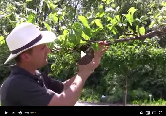 Grape Production After Pruning Video