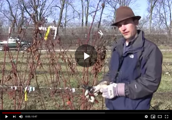 How to Care for Winter-Killed Blackberry Plants in Spring Season Video