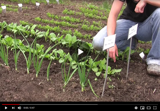 How to Grow Radishes from Seed Video