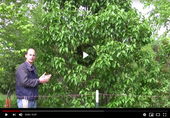 How to Prune Lilac Bushes Video