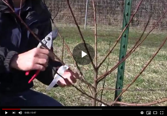 How to Prune a 2 year old Peach Tree Video