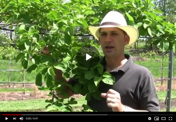 Kiwi Plant Care Tips and Info Video