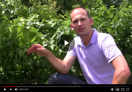 What to do with Black Currant Fruit Video
