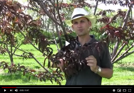 When and How to Thin Fruit on Peach Trees Video