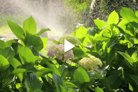 Hydrangea Potted - Watering