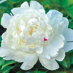 Parfum de Bloom™Festiva Maxima Peony