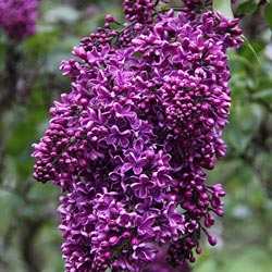 Deep Purple French Hybrid Lilac